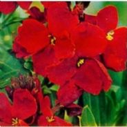 Wallflower 'Blood Red' Chieranthus cheiri - Appx 600 seeds